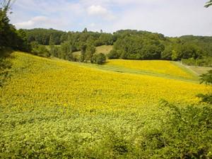 sunflower_field_in distance