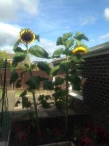 Sunflower Oct 2014